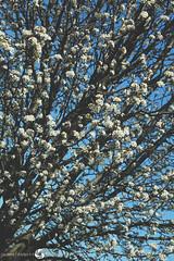 32/365 (JennaAbbottPhotography) Tags: flowers white pretty 365 flowertree 365day