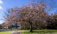 Spring glorious Spring ... (lunaryuna) Tags: street england sunlight tree season spring surrey sakura cherryblossoms lunaryuna cherrytree waltononthames springisintheair urbanspring seasonalwonders theruleofpink