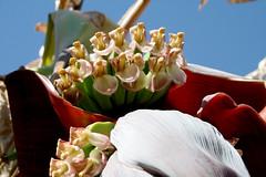 female flower whoral (wmpe2000) Tags: flower garden gardening banana musa bananatree 2016 musaceae gardentour jacqdavis epicgarden ordermusaceae
