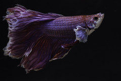 Halfmoon Red Crowntail Betta fish (raydignityphotography) Tags: blue red pet white fish abstract motion black color art scale nature water beautiful beauty animal aquarium colorful dress action background tail siamese hobby collection exotic domestic tropical hobbies aquatic fighting aggressive fin betta biology luxury isolated