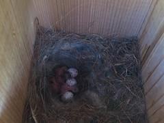 20160423 Carolina Chickadee (plumheadedfinch) Tags: birds tits pennsylvania nests 2016 cach month04april