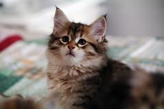 gatto siberiano (4) (tiziano.parmeggiani) Tags: cat chat gato felinos felini felines katze gatto siberiancat siberiano flins sibirischekatze gattosiberiano gatosiberiano chatsibrien