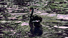 H30 Black Swan. (maginoz1) Tags: autumn abstract art canon australia melbourne victoria blackswan albertpark manipulate surrea waterl g3x april2016