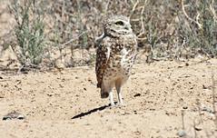 Burrowing Owl; Los Lunas, NM [Lou Feltz] (deserttoad) Tags: newmexico bird nature desert raptor owl migration behavior owlet wildbird