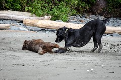 China Beach-3476 (mariskar) Tags: dog canada beach dogs nature beauty vancouverisland labs pacificnorthwest labradorretriever chinabeach westcoast pnw islandlife islandliving explorebcexplorecanada westcoastbeastcoast beastiebuddies