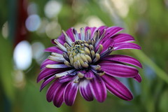 IMG_0746 (eve_manning) Tags: park flowers autumn newzealand auckland domain wintergardens