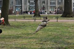 DSC00439 (Ychizh) Tags: dog garden jumping pug alexander pugs