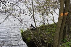 039.Mallard1-park (aetherspoon) Tags: park bird pond greentree birb