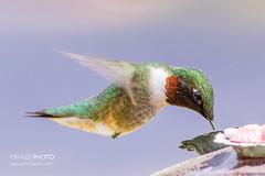 They're Here... (Michael R Hayes) Tags: male bird nature birds hummingbird wildlife feeder hummingbirds rubythroatedhummingbird