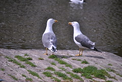 Lesser Black-backed Gull (Larus fuscus) (Common Buzzard) Tags: park birds gulls essex colchester seabirds lesserblackbackedgull