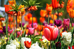 Dazzling (Swaentje5) Tags: flowers holland netherlands spring flora colorful bright nederland bulbs lente bloemen bollen keukenhof tulpen kleurrijk dazzling lisse bloembollen bontekleuren oogverblindend