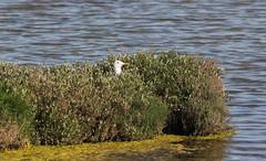 Sicurezza (lincerosso) Tags: primavera birds uccelli cova bellezza laruscachinnans armonia lagunadivenezia nidificazione liopiccolo gabbianorealemediterraneo valleolivara