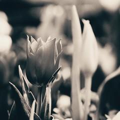Spring Flower (Jon-F, themachine) Tags: flowers plants plant flower nature japan asian outdoors flora asia olympus nagoya  nippon japo oriental  orient  fareast  aichi nihon  omd    chubu japn  2016 m43  mft   mirrorless  chuubu   micro43 microfourthirds  ft xapn jonfu  mirrorlesscamera snapseed   em5ii em5markii
