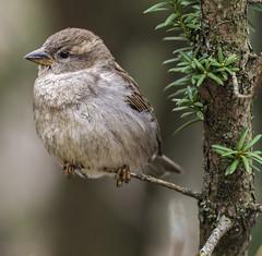 _DSC8019-Edit (doug.metcalfe1) Tags: ontario bird nature spring highpark outdoor housesparrow 2016 dougmetcalfe