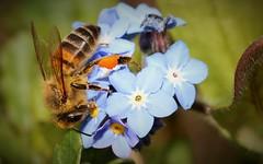Beautiful bee butt (ashperkins) Tags: macro closeup bee forgetmenot honeybee graig signsofspring northwales canonefs60mmmacro glanconwy bugbutt bbcwalesnature ashperkins beautifulbugbuttthursday canoneos750d