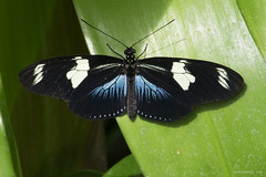 Butterfly 2016-31 (michaelramsdell1967) Tags: blue light black color macro green nature beautiful beauty animal closeup butterfly bug garden insect hope spring nikon focus natural cincinnati wildlife butterflies vivid insects bugs zen upclose