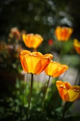 Sunshine (judy dean) Tags: light orange sunshine garden spring tulips sunworshipping 2016 judydean sonya6000