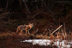 Stephen M. Fochuk Coyote (Stephen M. Fochuk) Tags: coyote sunset wildlife nwt northwestterritories yellowknife nikond4