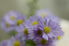 Purple Dream - Spring 2014 (Wilma v H - thanks for lovely feedback and faves!!) Tags: flowers macro closeup dof bokeh dreamy purpleflowers purpledaisies spring2014