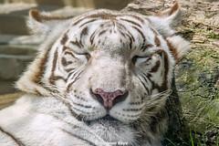 Kara  - Beautiful Dreamer (Harimau Kayu (AKA Sumatra-Tiger)) Tags: animal kara zoo feline tiger bigcat mutti monday snowwhite mutter bigcats whitetiger zooshot tobu mirrormirror bengaltiger knigstiger  frhlingserwachen tigreblanco springawakening pantheratigristigris tobuzoo tigreblancroyal  tigredubengale weisertiger indischertiger   eltigredebengala latigrerealedelbengala muttivonvierkindern