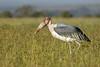 Marabu (dragoms) Tags: africa bird kenya wildlife natureza ave stork cegonha leptoptiloscrumeniferus maraboustork marabu quénia olpejeta dragoms leptoptiloscrumenifer