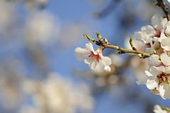 Cherry Blossom (thegoonie777) Tags: cherry prime dof bokeh cherryblossom creamy dx d300 200mm primelens manuallens oldlens 200mmf4ais nikkor200mmf4ai nikond300 oldmanuallens nikkor200mmf4ais bokehnikon