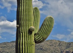 Saguaro National Park (Jasperdo) Tags: arizona cactus landscape nationalpark scenery desert nps saguaro nationalparkservice saguaronationalpark rinconmountaindistrict desertecologytrail