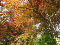Copper beech, Atholl Palace Hotel, Pitlochry (Niall Corbet) Tags: tree forest woodland scotland spring perthshire beech pitlochry copperbeech fagussylvatica athollpalace