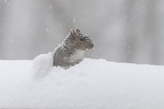 Snow Squirrel [Explored on January 24 2016] (Filsa Bint Ahmed) Tags: winter white snow playing fall weather animal animals virginia backyard squirrel cloudy wildlife windy richmond blizard 2016 d90 nikon70200mmf28g snowstormjonas