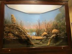 Akeley's muskrats (howicus) Tags: milwaukee diorama muskrat milwaukeepublicmuseum carlakeley