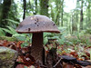 First mushroom of 2016 (Home Land & Sea) Tags: newzealand mushroom fungus nz bushwalk pointshoot sonycybershot centralhawkesbay swamptrack homelandsea easternruahineforestpark dschx100v