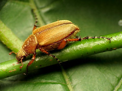Macrodactylus0169 (treegrow) Tags: nature insect washingtondc beetle rockcreekpark arthropoda coleoptera scarabaeidae lifeonearth raynoxdcr250 macrodactylus canonspeedlite430exii canonpowershotsx40hs taxonomy:genus=macrodactylus