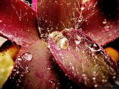 Purple and Wet (gjaviergutierrezb) Tags: red plants macro water drops agua purple
