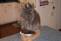 241/365/2797 (February 7, 2016) - Diet Aids (or Wanda Protecting the Cookies) (cseeman) Tags: cats pets kitchen cookies wanda box michigan rubbermaid saline kitchencounter project365 catonabox catsittingonthings yeareightproject365coreys 2016project365coreys p365cs022016 356project2016