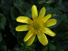 Ranunculus ficaria - Favalgello (vincenzolerro) Tags: languageofflowers sonyt77vaqrie
