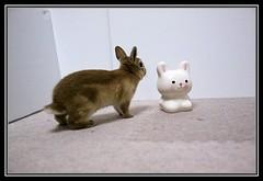 ICHIGO san 46 (mensore) Tags: brown rabbit bunny san ichigo netherlanddwarf
