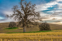 RHM_1278-1344.jpg (RHMImages) Tags: california sunset tree field lines clouds landscape us nikon unitedstates rows brentwood d810