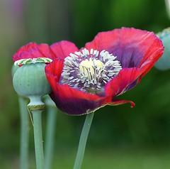 Poppy  Flowers (Annette Rumbelow) Tags: flowers our macro garden petals victorian wilson annette handheldcamera rumbelow