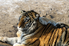 Siberian Tigers reserve, Harbin (Val Guid'Hall) Tags: china winter snow castle ice beer car saint heilongjiang festival river lights frozen husky asia colours cathedral russia cable siberia frogs tigers siberian sophia province chine harbin 2016 songhua