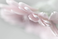 Whispers (Pog's pix) Tags: pink plants white plant postprocessed flower detail macro nature closeup scotland petals soft pretty arty natural pastel photoshopped creative pale petal ethereal dreamy serene highkey delicate ayrshire cutflower stewarton eastayrshire