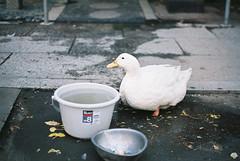アヒル (sabamiso) Tags: bird tokyo 東京 olympusom1 鳥 fzuikoautos50mmf18