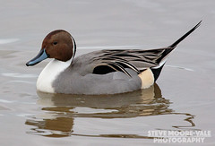 Pintail (Steve Moore-Vale) Tags: uk portrait reflection birds swimming wildlife ducks northern wwt slimbridge pintail wildfowlwetlandstrust stevemoorevale