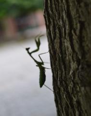 Mantis Religiosa (flachdla) Tags: macro garden mantis nikon insecto religiosa mamboreta d3100