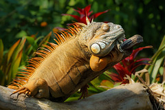Green Iguana (matthias.foto) Tags: park trip light red wild orange color cute green rot art nature beautiful beauty animal animals germany deutschland photography zoo photo europe dragon photos sweet bokeh outdoor wildlife portait sony natur iguana grn alpha 6000 tier echse drache 2015 schn ilce ss mirrorless a6000 fe702004