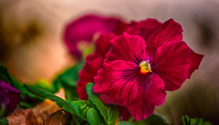 Red spring (frederic.gombert) Tags: flowers light red sun flower color macro colors garden leaf spring dof purple pansy macrodreams