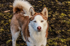 Dog vibe Saturday (irinars) Tags: dog 50mm team husky blueeyes cannon dogpark