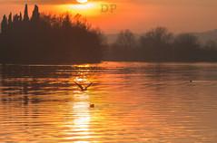 Golden Flight (Daniele Pauletto) Tags: sunset italy sun lake como lago fly tramonto seagull free sole pusiano gabbiano dpphotography