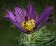 Pasque-flower, spring beauty. (Bessula) Tags: pink flower macro texture nature garden season spring pasqueflower bessula saariysqualitypictures coth5