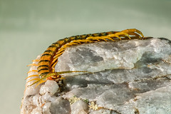 Escolopendra, chilopoda o ciempis (Scolopendra cingulata) - centipedes (_Guille_) Tags: macro meg ngc centipedes cienpis scolopendra escolopendra chilopoda miripodo cingulata macrolife quilpodo