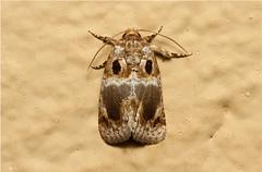 Acontia melaphora - South Africa (Nick Dean1) Tags: animal insect southafrica insects lepidoptera arthropods animalia arthropoda krugernationalpark arthropod hexapod insecta hexapods hexapoda acontia acontiamelaphora